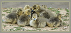 Canada geese family (maryimackins) Tags: goslings canadageesegoslings wildlife kent mary mackins
