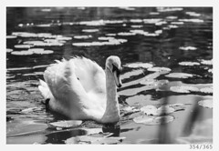 Swan (Aljaž Anžič Tuna) Tags: swan bird swamp bog marshes bigbird lake pond ljubljana ljubljanamarshes ljubljanskobarje photo365 project365 onephotoaday onceaday 365 35mm 365challenge 365project nikkor nice nikond800 naturallight nikon nikon105mmf28 nature 105mmf28 f28 dailyphoto day d800 bw blackandwhite black white blackwhite beautiful