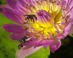 abelhas nativas em ninféia (abelhário) Tags: nymphaea abelhasnativas abelhasneotropicais neotropicalbees neotropicalinsects neotropischebienen insect inseto insekt insecto brazil brasil brasilien brazilië waterlily waterlelie wasserlilie ninféia polenização pollinisation