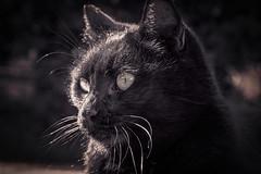 Spuntarello (Pepenera) Tags: cat cats gatto gato gatti felino blackbeauty blackcat