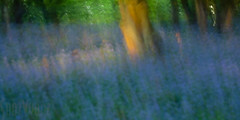 Burleigh Woods (36 of 52) (Sue_Hutton) Tags: burleighwood loughborough may2019 spring afterrain ancientwoodland bluebells evening icm