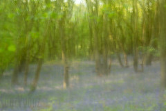 Burleigh Woods (31 of 52) (Sue_Hutton) Tags: burleighwood loughborough may2019 spring afterrain ancientwoodland bluebells evening icm