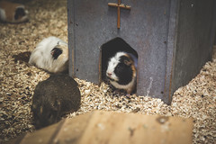 122/365 - Guinea Pigs (Forty-9) Tags: canon eos6d eflens ef2470mmf28liiusm lightroom tomoskay forty9 project365 365 2019 3652019 project3652019 day122 122365 may 2ndmay2019 02052019 photoaday thursday guineapigs animals pets