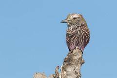 Carraca Coroniparda (ik_kil) Tags: carracacoroniparda purpleroller coraciasnaevius krugernationalpark kruger southafrica