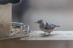 White-Breasted Nuthatch (Matts915) Tags: birds wildlife animalphotography animals backyard birdfeeder birdwatching birding nature natureshots outdoors whitebreastednuthatch