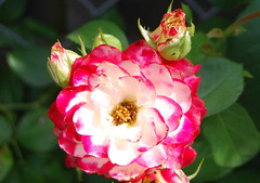 Herr Jesu, Gnadensonne (amras_de) Tags: rose rosen ruža rosa ruže rozo roos arrosa ruusut rós rózsa rože rozes rozen roser róza trandafir vrtnica rossläktet gül blüte blume flor cvijet kvet blomst flower floro õis lore kukka fleur bláth virág blóm fiore flos žiedas zieds bloem blome kwiat floare ciuri flouer cvet blomma çiçek