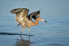 Reddish Egret (jeffloomis1) Tags: reddishegret feeding wading raised wings