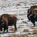 BisonRocky Mountain Arsenal National Wildlife Refuge - Denver, Colorado