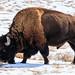 Bison - Rocky Mountain Arsenal National Wildlife Refuge - Denver, Colorado