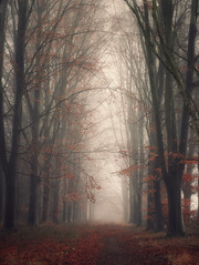 Fairy tale forest (juliendumont2) Tags: forest tree path orange autumn leaves woodland fog mothernature nature greenscene landscape outdoors inexplore belgium trunk noperson