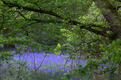 Blue Glade (Sue_Hutton) Tags: burleighwood loughborough may2019 spring afterrain ancientwoodland bluebells evening icm