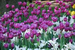 Київ, Співоче поле, тюльпани Травень 2019 InterNetri Ukraine 048