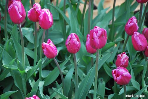 Київ, Співоче поле, тюльпани Травень 2019 InterNetri Ukraine 032