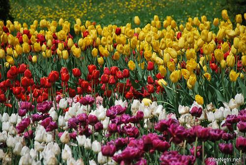 Київ, Співоче поле, тюльпани Травень 2019 InterNetri Ukraine 030