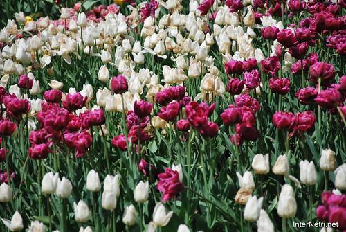 Київ, Співоче поле, тюльпани Травень 2019 InterNetri Ukraine 027