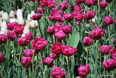 Київ, Співоче поле, тюльпани Травень 2019 InterNetri Ukraine 025