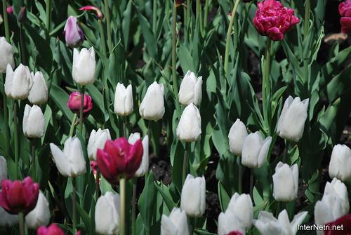 Київ, Співоче поле, тюльпани Травень 2019 InterNetri Ukraine 024