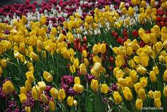 Київ, Співоче поле, тюльпани Травень 2019 InterNetri Ukraine 022