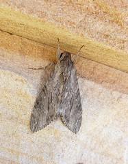 Psilogramma menephron 1 (mncsite) Tags: barry m ralley barrymralley forster nsw psilogramma menephron privet hawk moth largebrownhawkmoth