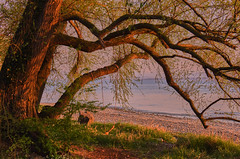 The tree in the evening sun (flowerikka) Tags: äste atmosphere ausblick baum bodensee eveninglight eveningsun germany lakeconstance lakeshore schaukel see seeufer shore swing tree ufer weide willow zweige