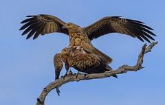 lagoon creek - pair of whistling kites #1 (Fat Burns ☮) Tags: whistlingkite haliastursphenurus kite raptor bird australianbird fauna australianfauna hawk nikond500 nikon200500mmf56eedvr lagooncreek barcaldine queensland australia nature outback outdoors