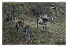 Le brame (BerColly) Tags: france auvergne cantal cerf stag biche doe faon fawn automne autumn bercolly google flickr