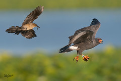 Grackle and Male Snail Kite, antagonistic and each with prey (MyKeyC) Tags: michaeljcohen flickrcomphotosmykeyc instagramcommykeycohen mmykeyyahoocom mykey4photogmailcom wwwfacebookcommikecohen182