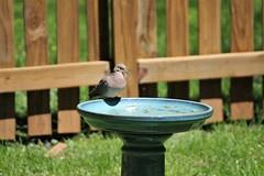Morning Dove (karma (Karen)) Tags: baltimore maryland home backyard birds morningdove birdbath fences dof bokeh hff topf25