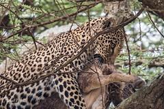 The Long Haul (iamfisheye) Tags: 300mm vr nikon f4 leopard asilia d500 namiriplains tanzania2018 afs tc14iii pf serengetinationalpark safari