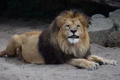 Caesar @ Artis 03-06-2018 (Maxime de Boer (2)) Tags: caesar african lion afrikaanse leeuw panthera leo big cats katachtigen natura artis magistra zoo amsterdam animals dieren dierentuin gods creation schepping