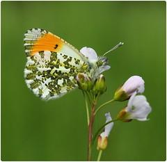 Male Orange-tip on Cuckoo Flower I (glostopcat) Tags: orangetipbutterfly butterfly insect invertebrate macro ladyssmock cuckooflower wildflower glos april spring coombehillcanalmeadowsnaturereserve gloucestershirewildlifetrust