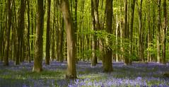 Micheldever beech woods in spring (Edmund Shaw) Tags: bluebells hyacinthoidesnonscripta seasonal spring blue beech forest woodland woods micheldever hampshire jacinthedesbois bois jacinthesauvage printemps wildflower flora