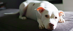 (Sean Davis) Tags: nora pit bull dog couch 219 widescreen ultrawide