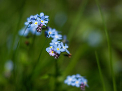 Forget-me-not (Colin-47) Tags: forgetmenot myosotis plan wildflowers may 2019 woodland springtime blue green grass flowers petals eos6d ef85f18 colin47 nature