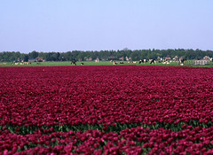 Hoe Nederlands wil je het hebben?! (Ernst-Jan de Vries) Tags: cows dutch tulips tulpen tulp koe rund vee cattle landscape flower bulb rvp50 fuji velvia fujichrome mamiya m6451000s middenformaat mittelformat mediumformat 120 645 analoog analog analogue film slide dia