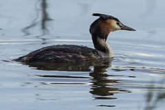 DSC_9602 (Jesus DTT) Tags: somormujolavanco podicepscristatus aves guadiana vicario río pantano embalse peralvillo