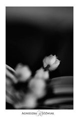 Konwalia (smoothna) Tags: konwalia nature bw stilllife flowers macro d90 smoothna lilyofthevalley