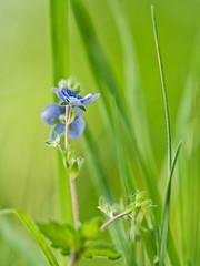 Blau und Grün (lebastian) Tags: panasonic dmcgx8 olympus m60mm f28 macro bokeh gras blüte blossom makro grün details