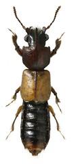 Bledius sp. 6,3 mm (dries.marais) Tags: coleoptera staphylinidae oxytelinae thinobiini bledius beetle insect africa southafrica