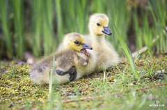 Hissing Practice (matthewolsonphotography.com) Tags: babybirds gosling goose canadagoose wildlife bird birdwatching waterbird waterbirds geese canadageese spring