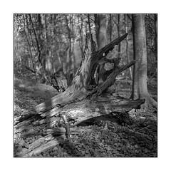 Roots (K.Pihl) Tags: rolleiflex35e pellicolaanalogica rodinal1100 ilfordhp5 nature planar75mmrolleiflex standdevelopment blackwhite schwarzweiss bw monochrome analog film