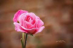Rose (THW-Berlin) Tags: plants pflanzen flowers blumen rosen rose pink nature sony natur garden