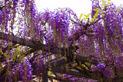 Blooming for You (moaan) Tags: tanba hyogo japan flower flowering flora wisteria wisteriatrellis color purple richlycolored byakugojtemple leica leicamp type240 noctilux 50mm f10 noctilux50mmf10 leicanoctilux50mmf10 utata 2019