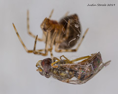 Spider & Hoverfly (strjustin) Tags: hoverfly spider arachnid fly macro mpe bug insect