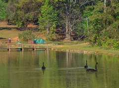 Black swans swimming on the lake (phuong.sg@gmail.com) Tags: animal background beak beauty bird black calm dabbling elegance feather flashy float floating fluffy fly flying grace idyllic lake living majestic nature neck outdoors park peace peaceful pond portrait poultry purity rippled river royal scene shoulders soulful swan swim swimming tranquil wallpaper water wet wild wildlife wing zoo