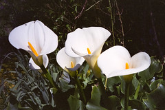 White calla lily - expired film (JSB PHOTOGRAPHS) Tags: nikonsupercoolscan5000ed 35mmfilm colorfilm expiredfilm film filmcamera filmisnotdead filmphotography ishootfilm nikonfilm nikonzoom310af whitecallalily img953