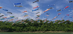 Flying Fish during Golden Week (Hamilton Ross) Tags: golden week japan okinawa fish carp flying river water summer culture tradition pacific ocean