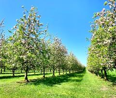 Apple trees in spring (Nature is my passion) Tags: nature natur primavera printemps spring frühling bäume baum tree appletree apfelbaum