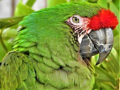 Green Parrot (Bob Silver ☺) Tags: green parrot bird macro detail red crowned amazon