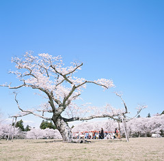 0923-03 (karl0513) Tags: film filmphotography filmisnotdead sakura japan 120film mamiya6mf